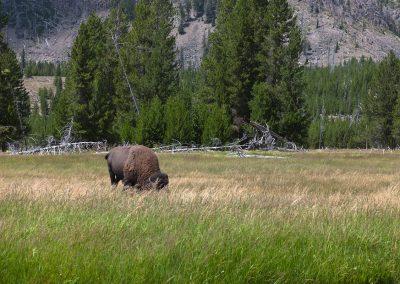 Bisonte Americano - Yellowstone National Park