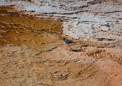 Charadrius dubius - Mammoth Hot Springs - Yellowstone National Park