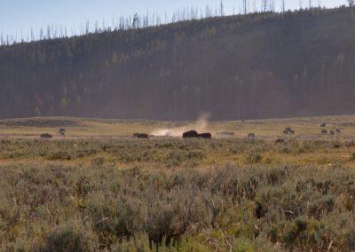 Mandria di bisonti - Yellowstone National Park