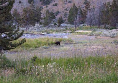 Orso Nero - Yellowstone National Park