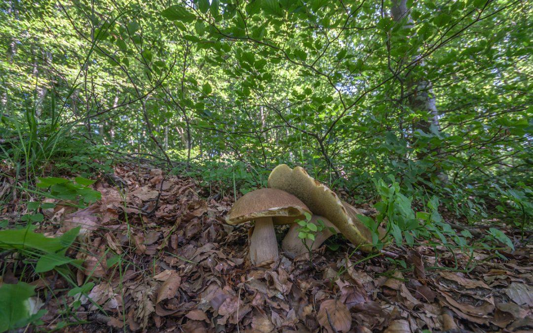 Funghi porcini appennino tosco-emiliano: qualcosa si muove