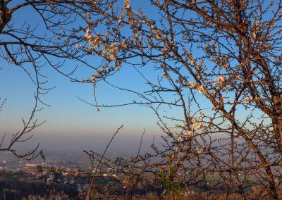 Prugnolo selvatico in fiore - Sivizzano